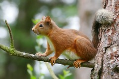 Red Squirrel in Tentsmuir forest. (eric robb niven) Tags: ericrobbniven scotland redsquirrel wildlife nature dundee lumixfz1000 summerwatch