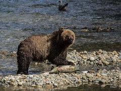Gone Fishin' (T0nyJ0yce) Tags: grizzlybear wildlife animals salmonrun fish brownbear ursusarctoshorribilis grizzly fishing salmon westcoast wild bears