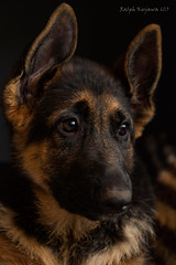 puppy-love (slivvtheshiv) Tags: dog gsd puppy companion pup cuddly ears