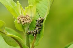 Caterpillar on milkweed (lanaganpm) Tags: monarchcaterpillar insectsandspiders