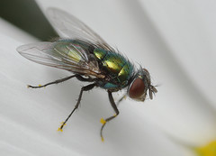 Greenbottle Fly (ronibiza) Tags: macro nature insect fly greenbottle macrolife notyournormalbug