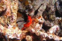 bold bug - night dive 4/27/12 (BarryFackler) Tags: ocean life sea nature water ecology animal coral night island hawaii polynesia bay marine underwater nocturnal pacific being dive shrimp scuba diving sealife pacificocean tropical diver bigisland aquatic reef crustacean creature biology undersea kona 2012 ecosystem coralreef invertebrate marinelife zoology seacreature arthropod nightdive organism honaunau decapod nightdiving konacoast hawaiicounty southkona hawaiiisland marineinvertebrate honaunaubay hingebeakshrimp westhawaii chiatti barryfackler barronfackler hiattshingebeakshrimp cinetorhynchushiatti