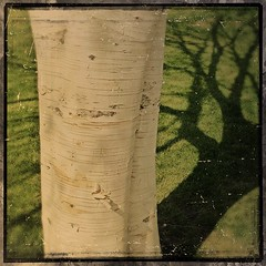 Birch Tree and Sunlight (Viveca Koh FRPS) Tags: shadow sunlight tree london grass photographer birch apps iphone viveca ipics phoneography iphoneography itogs ipadography instagram scratchcam phototoaster