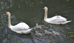 The Swan Family (**StereoDee**93) Tags: nikon swans paisley cygnets d3100 candrendam