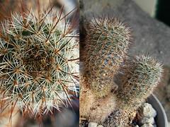 Frailea gracillima ssp. horstii FS488 (Succulents Love by Pasquale Ruocco (stabiae)) Tags: cactus cactaceae stabiae succulenta frailea cactusco pasqualeruocco succulentslove