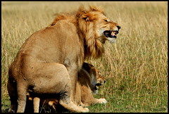 KING OF JUNGLE HAVING HIS PLEASURE.....MASAI MARA (AUG 2008).....149 (M Z Malik) Tags: leo kenya wildlife safari masaimara nikond200 thegalaxy flickrbigcats 80400f4556 exoticaficancats