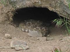 rattlesnake! (jcoutside) Tags: bankslake grandcouleedam grandcoulee basalt dryfalls steamboatrock sunlakesstatepark iceagefloods mosescoulee umatillarock