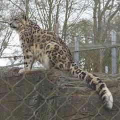 653-38L (Lozarithm) Tags: 1770 marwell bigcats k5 snowleopards flickrbigcats pentaxzoom