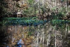 Cypress (Bo Chambers) Tags: trees water florida swamp hammock vegetation cypress