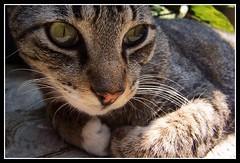 Gatto Morris sta pensando a quella gattina... *_* (MaPeV) Tags: cats green chats eyes chat tabby kitty gatos gato neko katze morris gatti gattoni gattini tabbyspoted