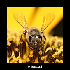 Honey Bee (HASAN_ADEL) Tags: flower macro canon golden hard bee honey micro saudi arabia worker 60  65 adel ksa hasan   mpe mpe65       60d       macrolife