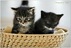 Happy Caturday (Saturday) to all Flickr friends ! (Viola & Cats =^..^=) Tags: animals kittens kitties felini felines animali gattini catnipaddicts mygearandme mygearandmepremium mygearandmebronze