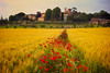 Tuscany Dreamland (AllardSchager.com) Tags: red roses italy green texture nature field barley june yellow rural vintage landscape evening town spring nikon dof village bokeh farming scenic panoramic farmland retro tuscany vista romantic dreamy siena geography avond toscana toscane lente region idyllic dreamland eclectic f28 italie goldenhour harsh bold 2012 papaver toning paintinglike idyllisch klaprozen beautyinnature 100faves 200faves touristdestination leadin nikcolorefexpro monteronidarbia 300faves schilderachtig d700 nikond700 lucignanodarbia mediterraneancountry nikonfx allardone allard1 duohardstrak nikkor70200mmf28vrii fullframepower allardschagercom