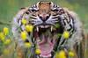 Sumatran Tiger 2 (Funky Foxy) Tags: tiger lion sumatrantiger africanlion pantheraleo pantheratigrissumatrae flickrbigcats endangeredbigcats