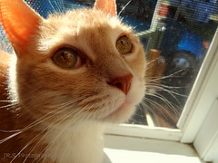 (jrstrandquist) Tags: summer cute cat fun orangecat adorable fluffy whiskers catface oldcat fluffycat