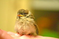 Have a nice dream (maisuke*) Tags: wild bird nature birds animal japan chick sparrow  sparrows        pichan gettyimagesjapan12q2