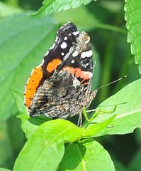Red Admiral - Vanessa atalanta (jwinfred) Tags: macro nature mississippi nikon sigma insects delta 300mm cypress preserve greenville f4 d300