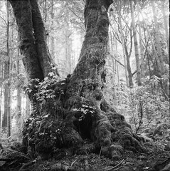 Stanley Park Maple (Andrew Luyt) Tags: blackandwhite bw hc110 stanleypark minoltaautocord dilutionh efkepl25