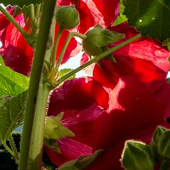 Alcea rosea (Rainer ) Tags: red rot nature estate sommer natur summertime t hollyhock garten x10 stockrosen unsergarten rainer