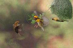 The Baya Weaver (zahoor-salmi) Tags: pakistan macro nature birds animals canon tv action wildlife vulture bhalwal natureselegantshots zahoorsalmi panoramafotogrfico thewonderfulworldofbirds thebestofmimamorsgroups