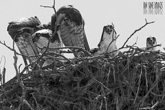 Living In The Sticks (Ian Sane) Tags: family white black angel oregon ian photography living sticks open nest wildlife images mount panting mouths staring osprey sane the in