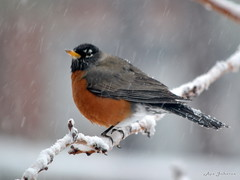 DSC_4329 w1024 (rjccski) Tags: bird nature animal nikon feather dslr d3100