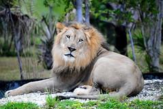 Lion at Miami Zoo (Melissa C. Toledo) Tags: wild green beautiful animal animals coral zoo eyes metro florida miami south lion area lions beast fl reef southflorida 305 dade zoomiami