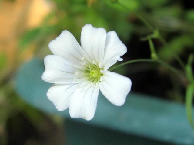 【色別】カスミソウの花言葉の意味と由来|白/青/紫
