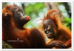 Singapore Zoo - Orang Utan (TOONMAN_blchin) Tags: orangutan singaporezoo toonman mygearandme mygearandmepremium mygearandmebronze mygearandmesilver mygearandmegold mygearandmeplatinum ringexcellence