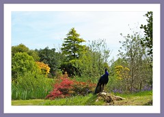 The King of Glenwhan Gardens (Mac ind g) Tags: holiday bird garden landscape scotland spring framed peacock peafowl dumfriesgalloway stranraer faune pavocristatus glenwhan glenwhangardens dunragit