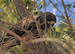 Swainson's Hawk (Ron Wolf (...detests this new design...)) Tags: california bird nature nest wildlife sierra raptor nesting swainsonshawk buteoswainsoni sierravalley accipitridae slbnesting