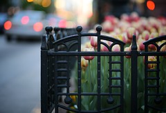 Of Tulips and Tail Lights (Philocycler) Tags: chicago spring tulips bokeh fencefriday