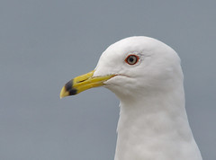Ring Billed Gull (Alistair Prentice.) Tags: county summer irish gull down ring 150 coastal co 500 prentice migrant billed groomsport ringbilled