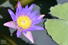 Ultra Violet Flowering Waterlily (smjphotography) Tags: flower water gardens square nikon waterlily violet tropical flowering ultraviolet ultra longwoodgardens nymphaea longwood kennett kennettsquare d5100 nikond5100 floweringwaterlily