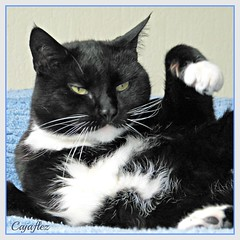 Cortez has diabetes. Cortez heeft suikerziekte. (Cajaflez) Tags: portrait cute cat kat chat vet pic panasonic explore odd ill tuxedo katze cortez portret gatto kater insulin diabetes ziek dierenarts injections insuline kissablekat bestofcats impressedbeauty suikerziekte catmoments 100commentgroup saariysqualitypictures injecties mygearandme dmcfz150 suikerkat