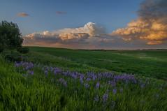 Storm colors (Len Langevin) Tags: flowers sunset sky cloud canada storm color landscape nikon purple alberta prairie nikkor d300 18300