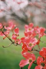 41509RLjoe718007-R3-097 (Doug J.) Tags: agfa vista 200 film 35mm canon eos rebelg 40mm f28 leaves flowers buds spring cloudy wet dof bokeh dogwood pink red bloom tree