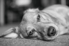 Trixie (D3ND0) Tags: dog dachshound jack russel brown schwarz weiss black white sw bw nikon d750 50mm 18 f sweet dreaming tiny
