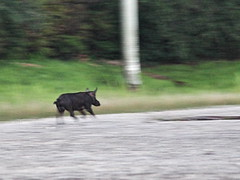 Wild boar 01-20160724 (Kenneth Cole Schneider) Tags: florida miramar westbrowardwca