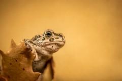 kleine Krte (mailo mops) Tags: tier frosch krte frog gelb yellow tierportrait makro sonyalpha77ii auge