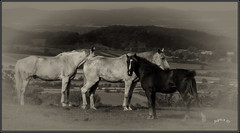 Horsepower. (Picture post.) Tags: landscape nature green horses vignette sepia paysage interestingness