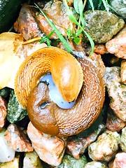 Slug sex (HeideKlein_OrangenKopf) Tags: nature animalinstinct mating intercourse slugsex animal sex slugs slug