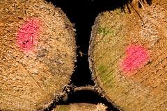 ckuchem-8302 (christine_kuchem) Tags: abholzung baum baumstmme bume einschlag fichten holzeinschlag holzwirtschaft wald waldwirtschaft