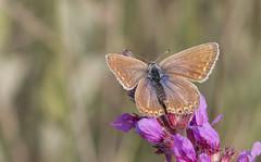 Bruin blauwtje , Brown Argus (Thijs de Bruin) Tags: brownargus bruinblauwtje dutch natuur nature