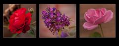 Flower heads (mini-b) Tags: flowers inthegarden buddleia closeup canon eos5dmkii 100mmef28lisusm 2016 roses tearose paulsscarletrose