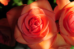 DSC_5518 (PeaTJay) Tags: nikond300s sigma reading lowerearley berkshire macro micro closeups gardens indoors nature flora fauna plants flowers rose roses rosebuds