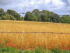 No entry (Rob Hall -) Tags: barbedeire fence gatr fields field corn cornfield poppies wire enclosed country countryside rural sun sunshine summertime summer summerscene farm farmland uk trees red wildflowers
