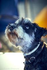 Ivan (Paterdimakis) Tags: schnauzer dog face animal foend colour mouth eyes smile joy life fuji beautiful nature portrait