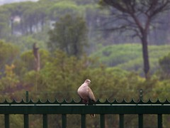 impavida sotto la pioggia (fotomie2009 OFF) Tags: francia vidauban tortora la plaine et le massif des maures france dove bird uccello animal fauna var
