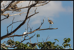 Egret & Cormorant (bob_sanderson) Tags: egrets